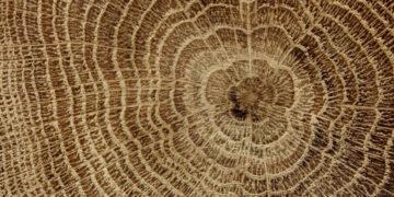 Dub - palivové dřevo